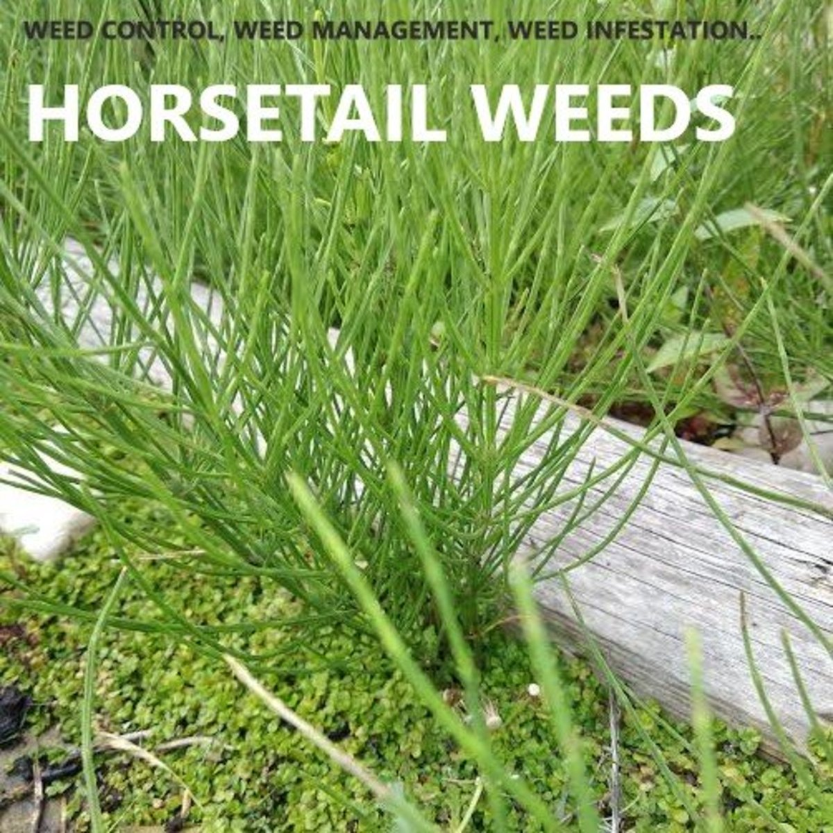 Horsetail weeds specialize in crowding out flower beds and exploiting gaps and cracks in paving.