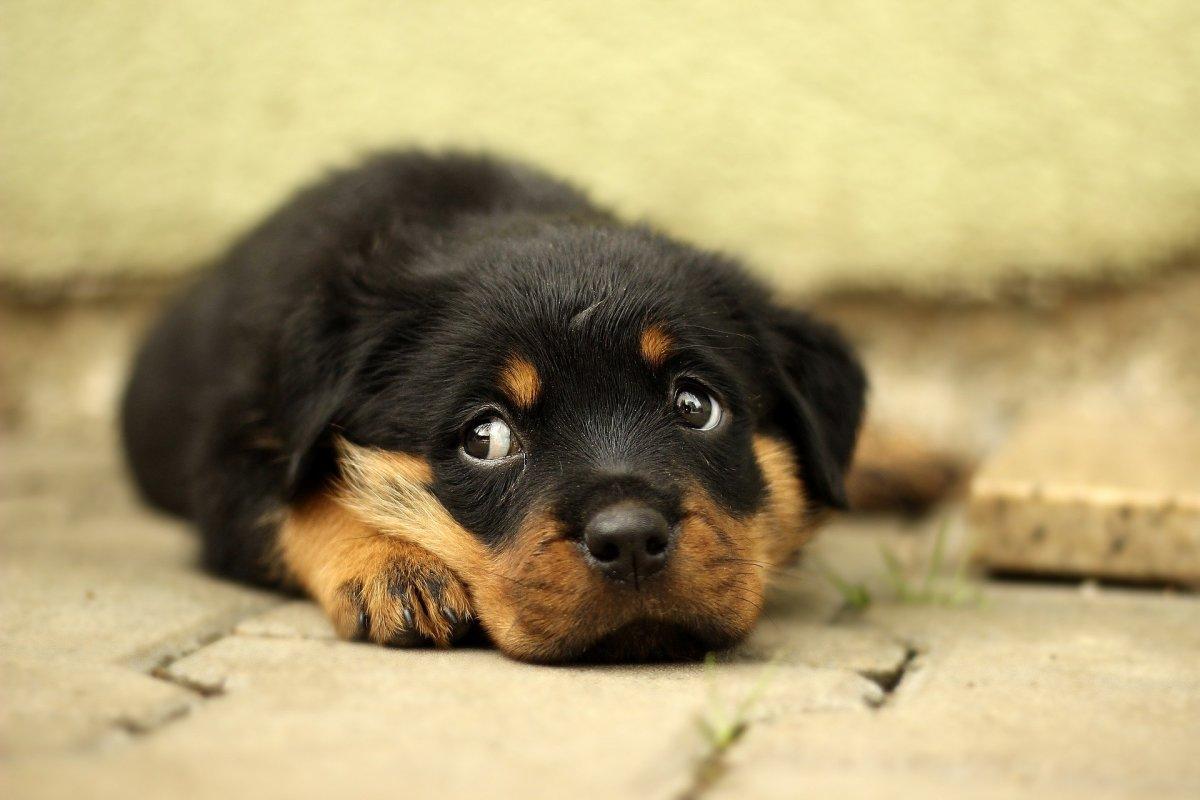 Little Depressed Dog