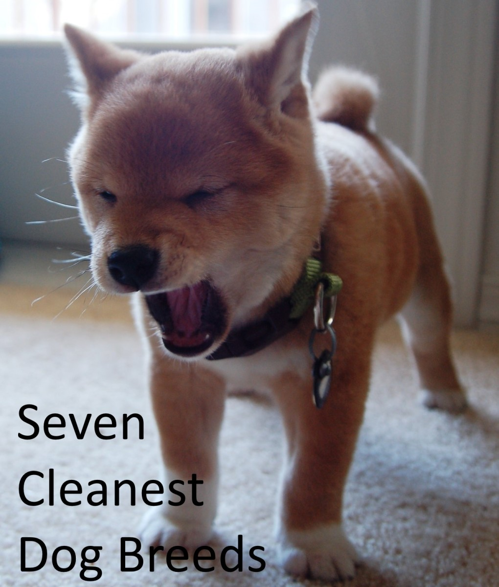 Shiba Inu are easy to housebreak, as clean as many cats, and do not bark much.