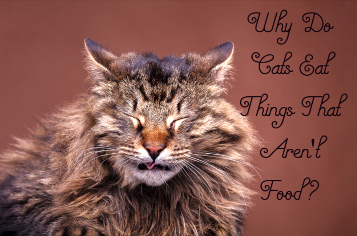 Why Do Cats Eat Things That Aren't Food?
