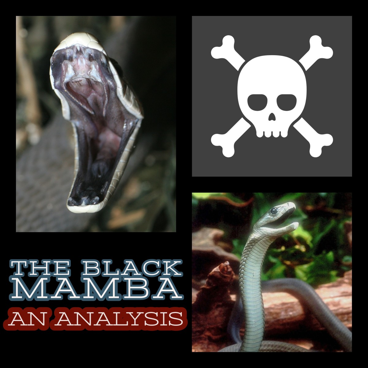The Black Mamba: Africa's most feared snake.