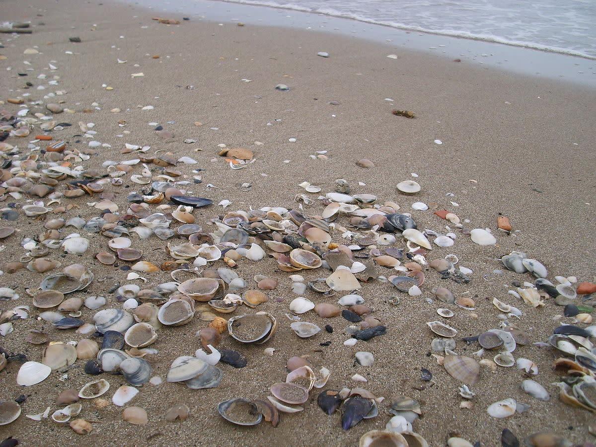 Seashells washed up on the shore.