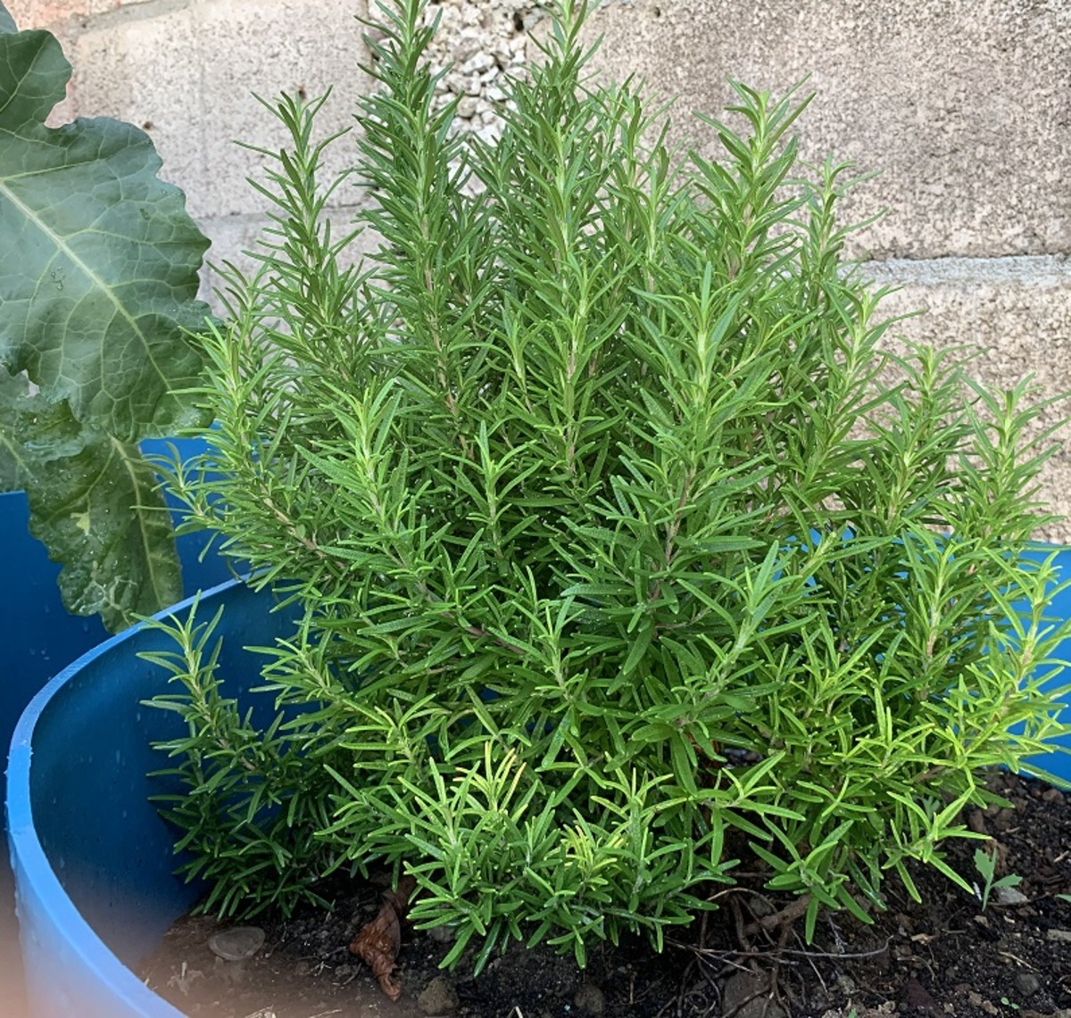 Rosemary: my favorite fragrance in plants