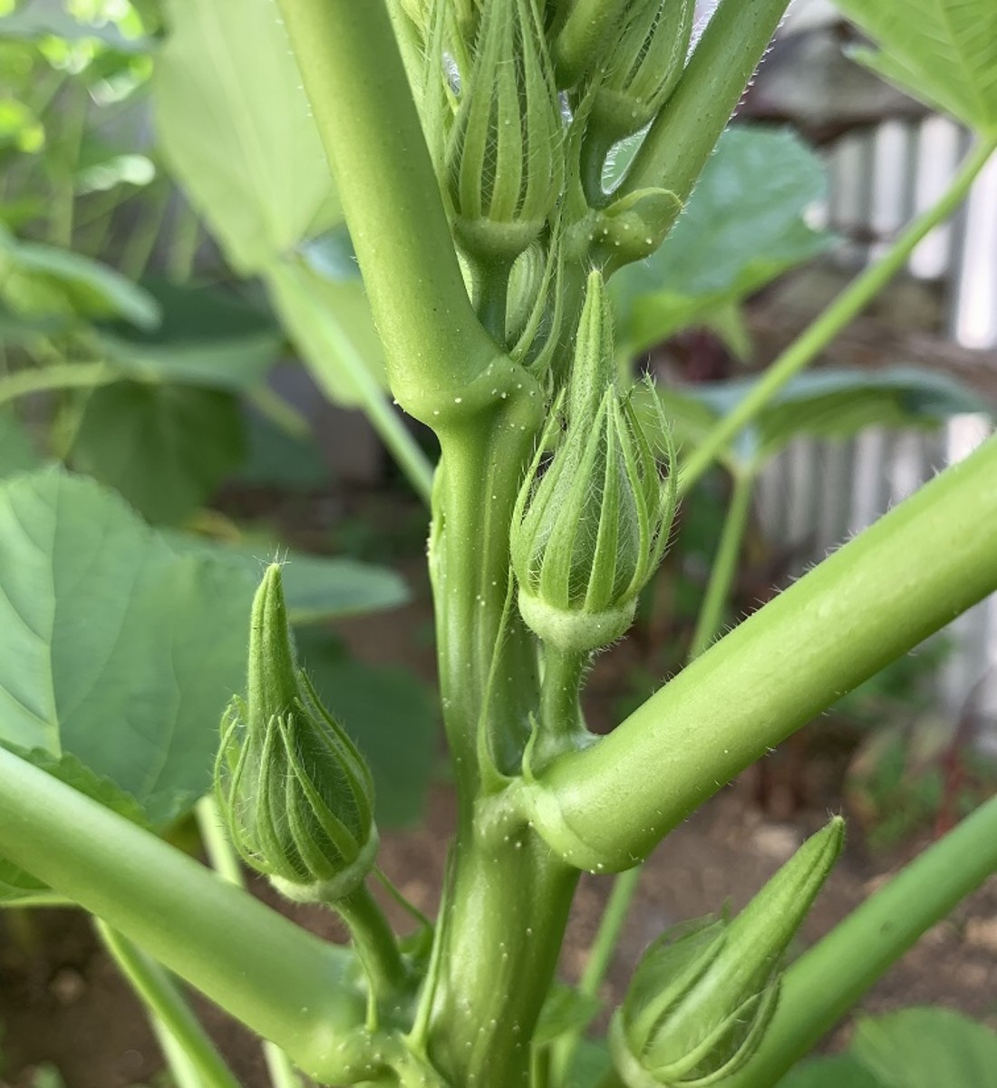 My very first okras.