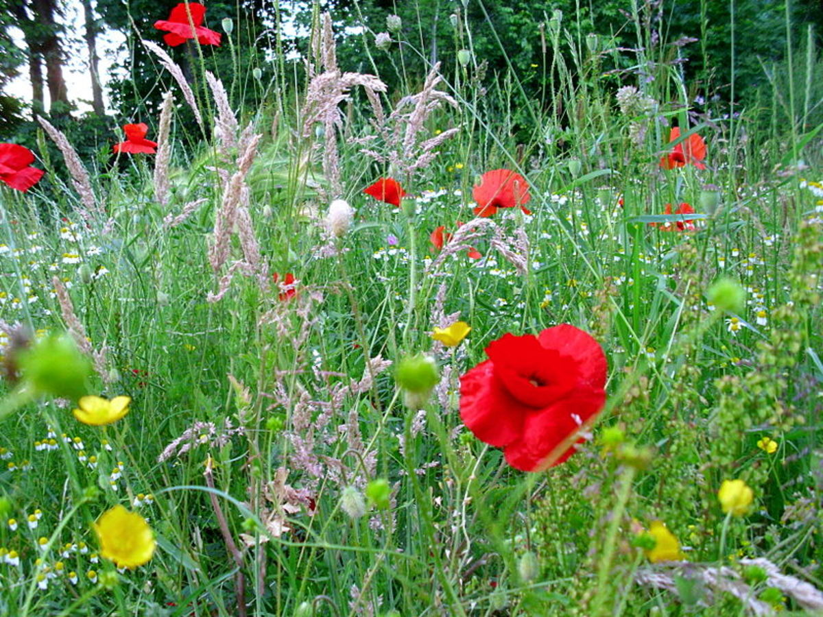 Grass and Poppies