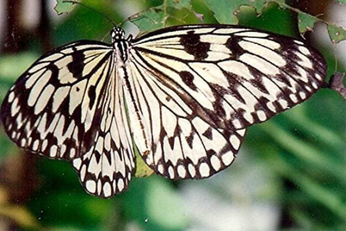 Photo of a butterfly in the Cockrell Butterfly Center