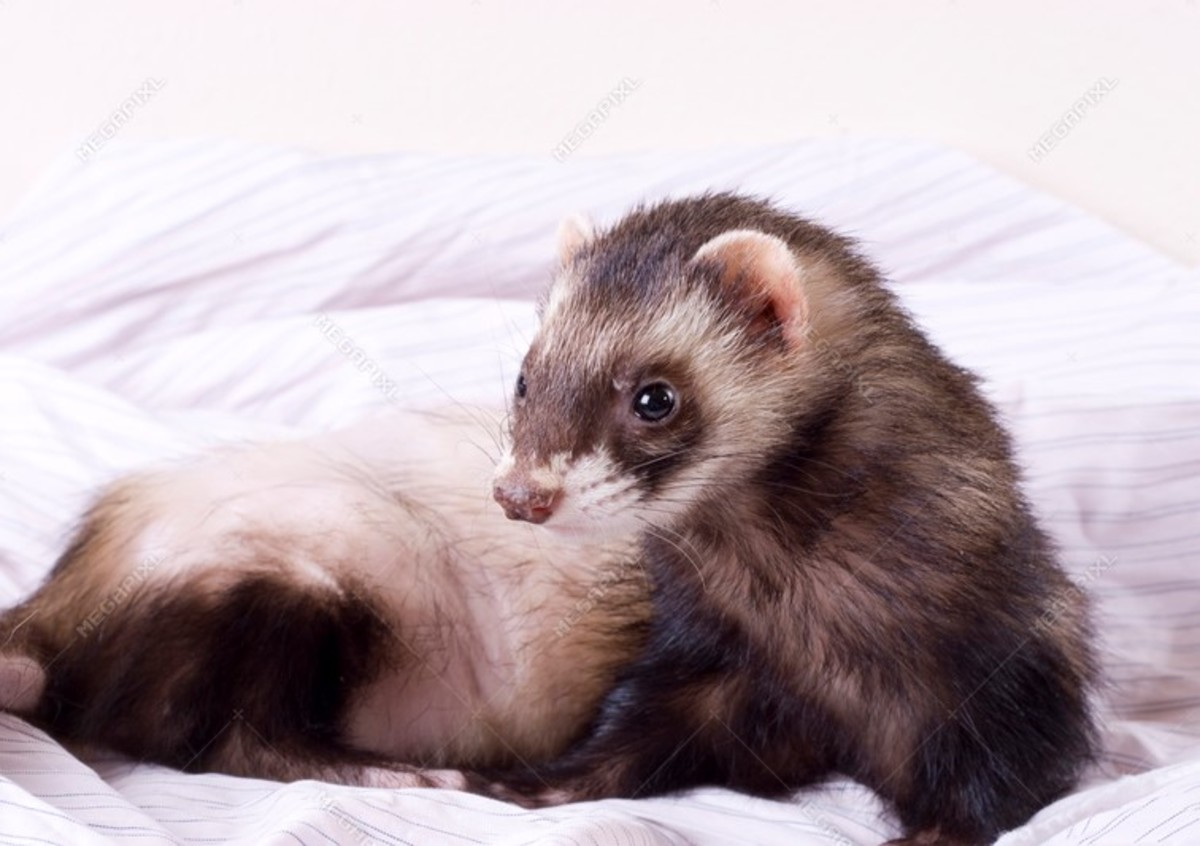 Covid-19 and Ferrets: What You Should Know