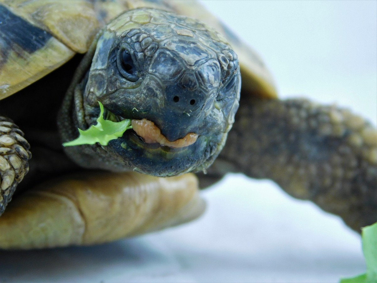 The Ideal Greek Tortoise Diet (and How to Care for It)
