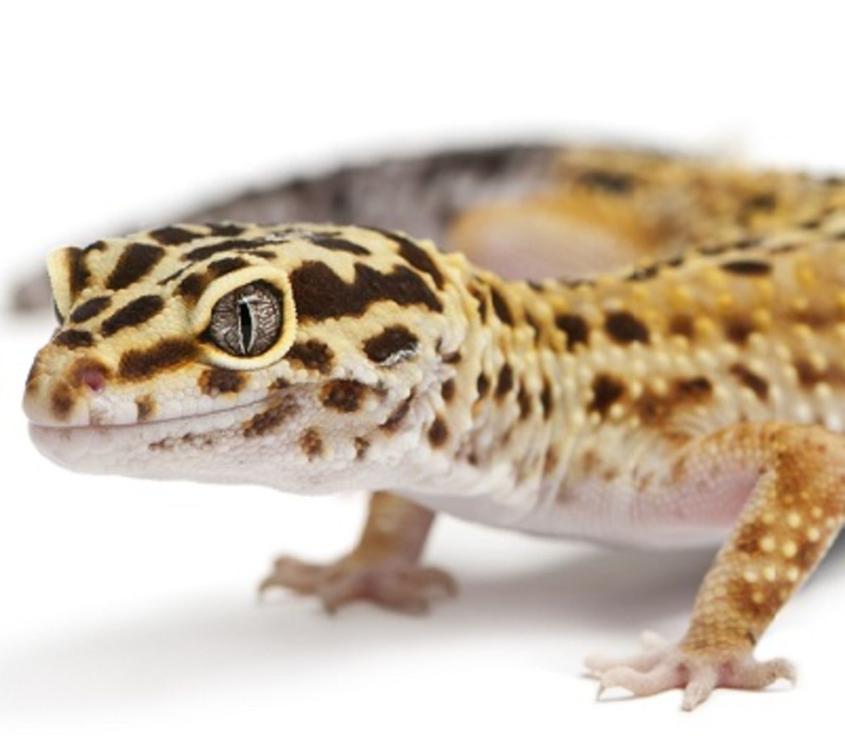 A Beginners Guide to Owning/Caring for a Leopard Gecko