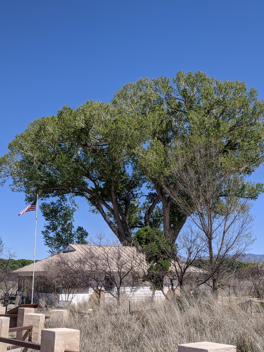 San Pedro House with Cottonwood Tree behind it that ws Planted in 1956
