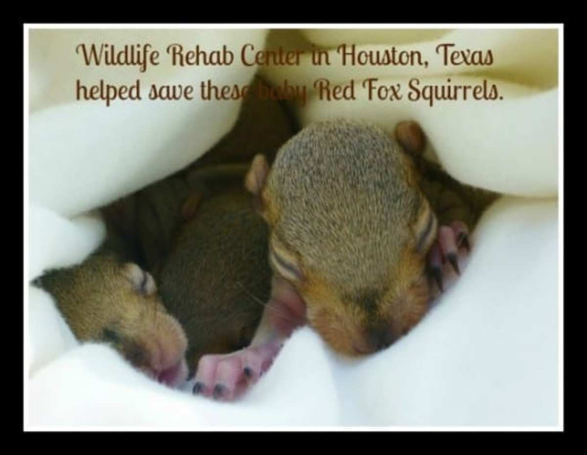 Baby Red Fox Squirrels Saved by Texas Wildlife Rehab Center