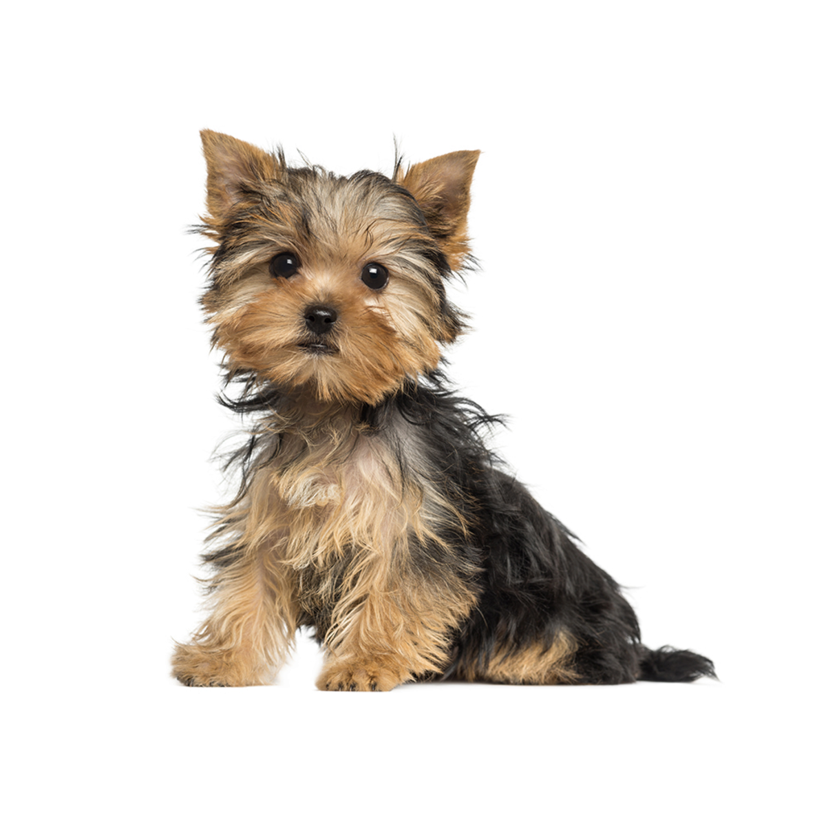 Toys and Teacups: The Best Miniature Dog Breeds