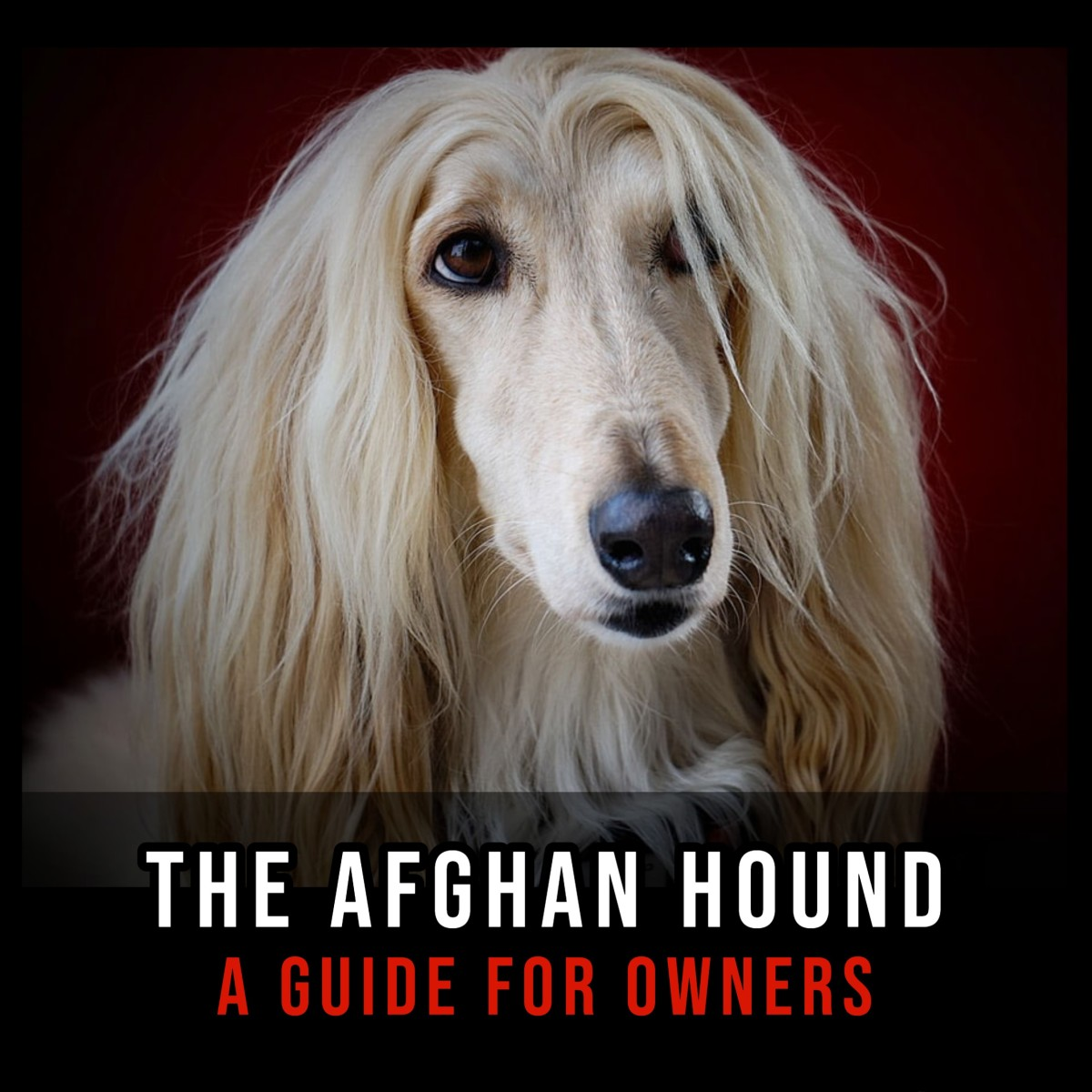 The Afghan Hound: A Guide for Owners