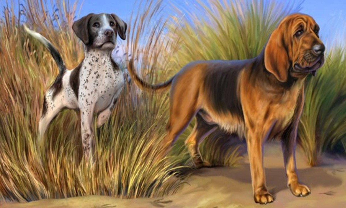 Basil (right).  A Bloodhound, a Breed originally bred for hunting in the Middle Ages. Known for the ability to follow the faintest scent over great distances, because of its robust and tenacious tracking instinct, can be  difficult to walk on a leash