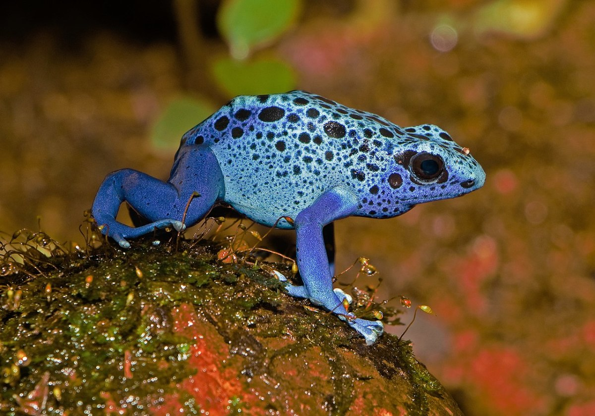 A blue poison dart frog (Dendrobates tinctorius var. azureus) at the Karlsruhe Zoo in Germany