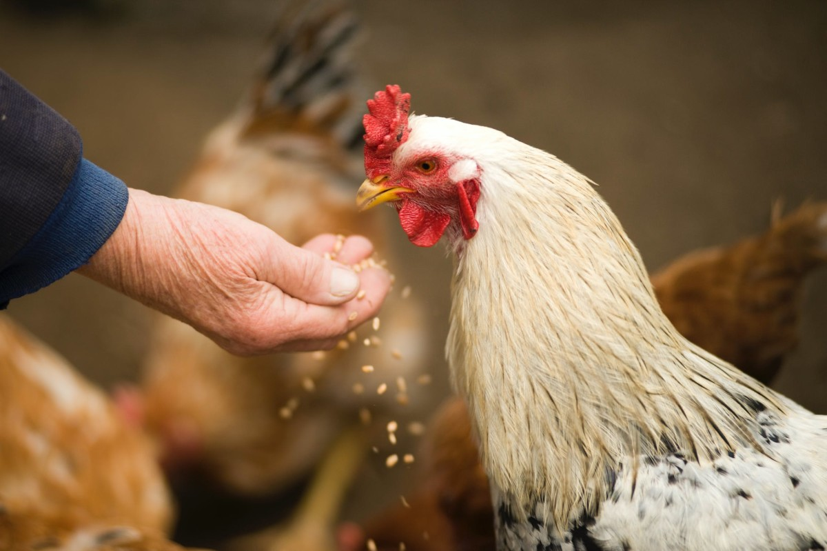 How to Properly Feed Chickens