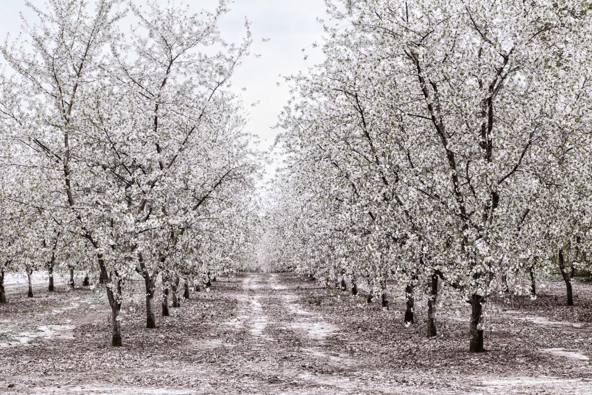 Apple Orchard in Michigan