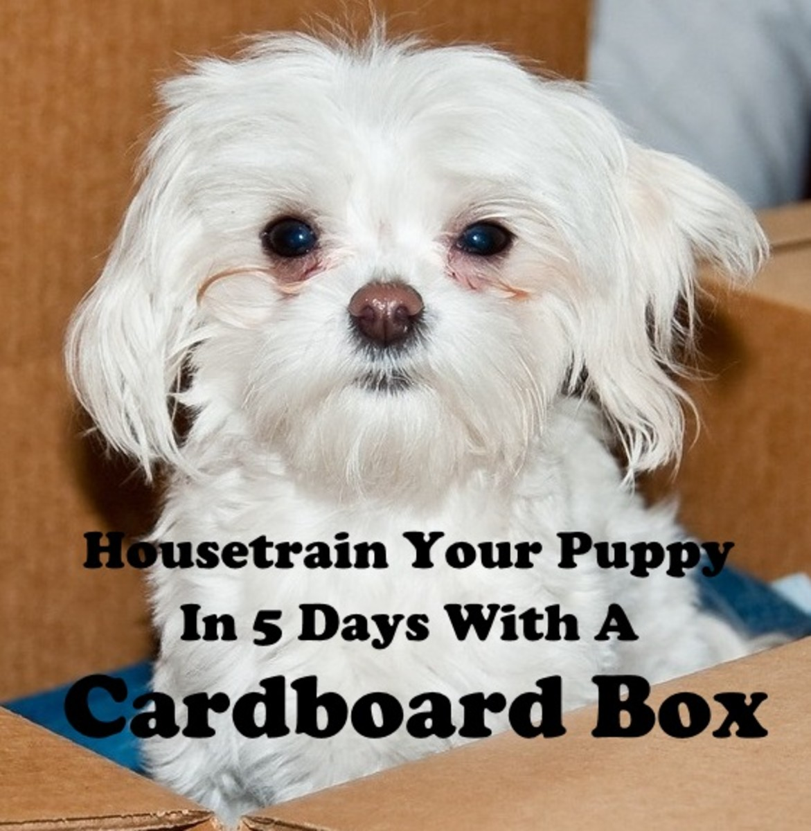 Housetrain your dog in just 5 days using a cardboard box.