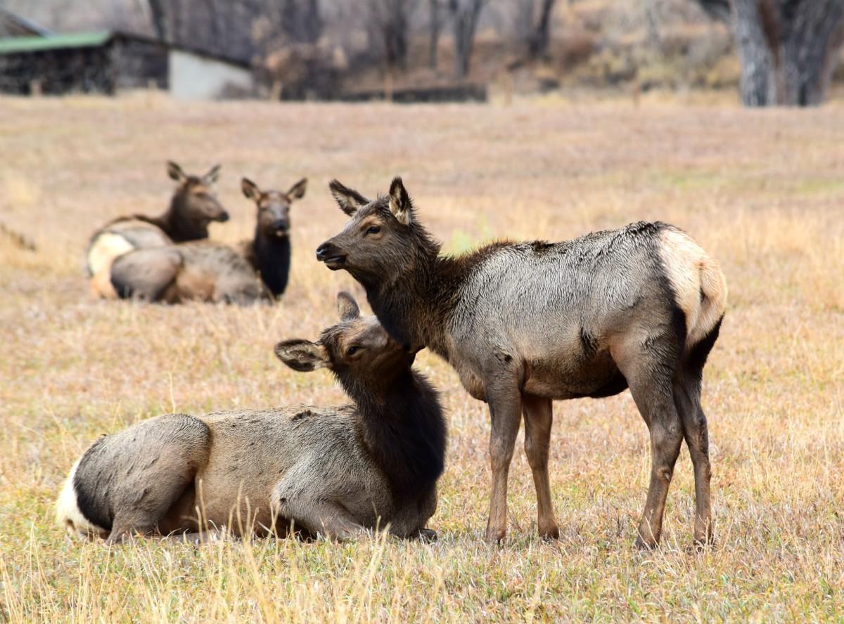 Elk near Estes Park, Colorado