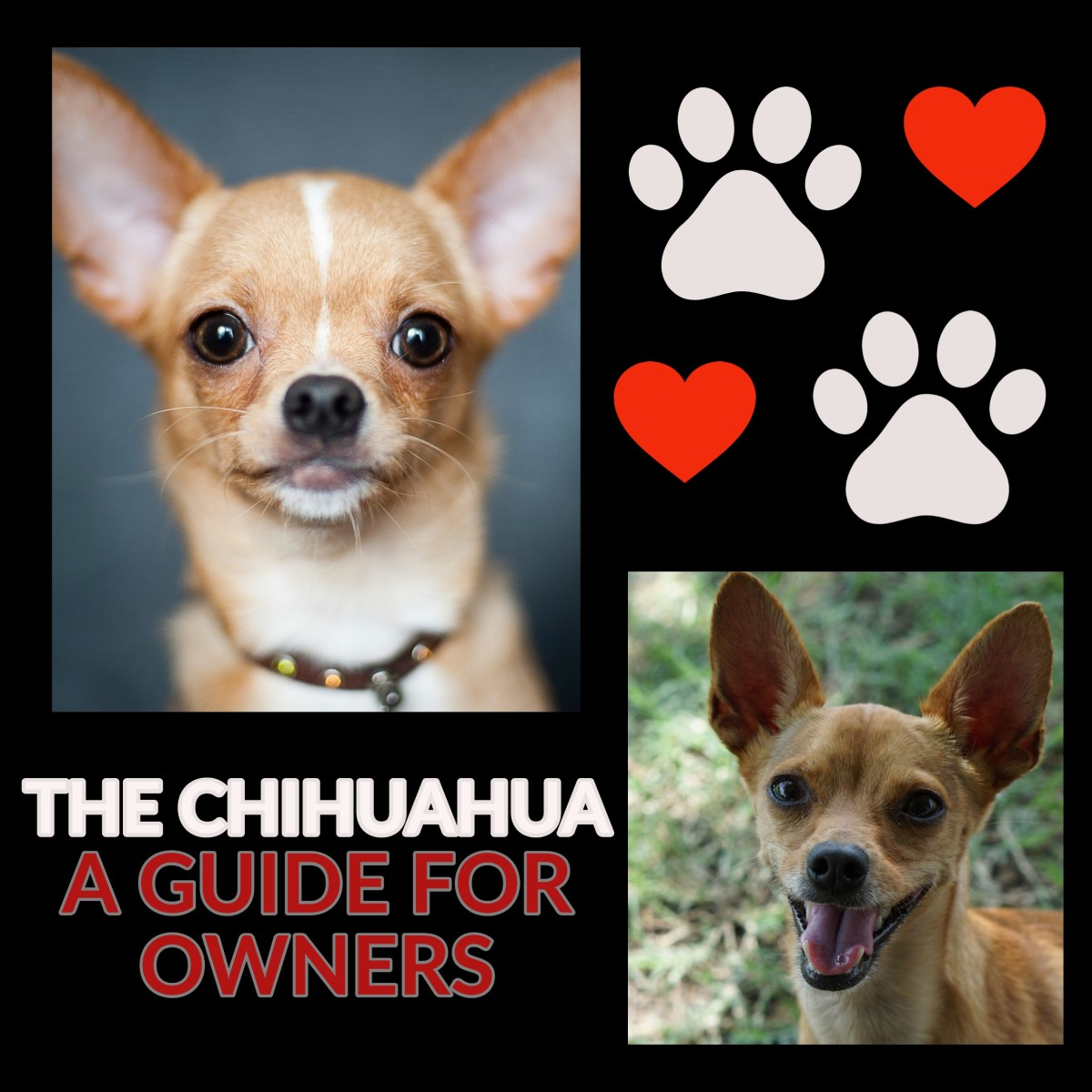 The lovable and affectionate Chihuahua.