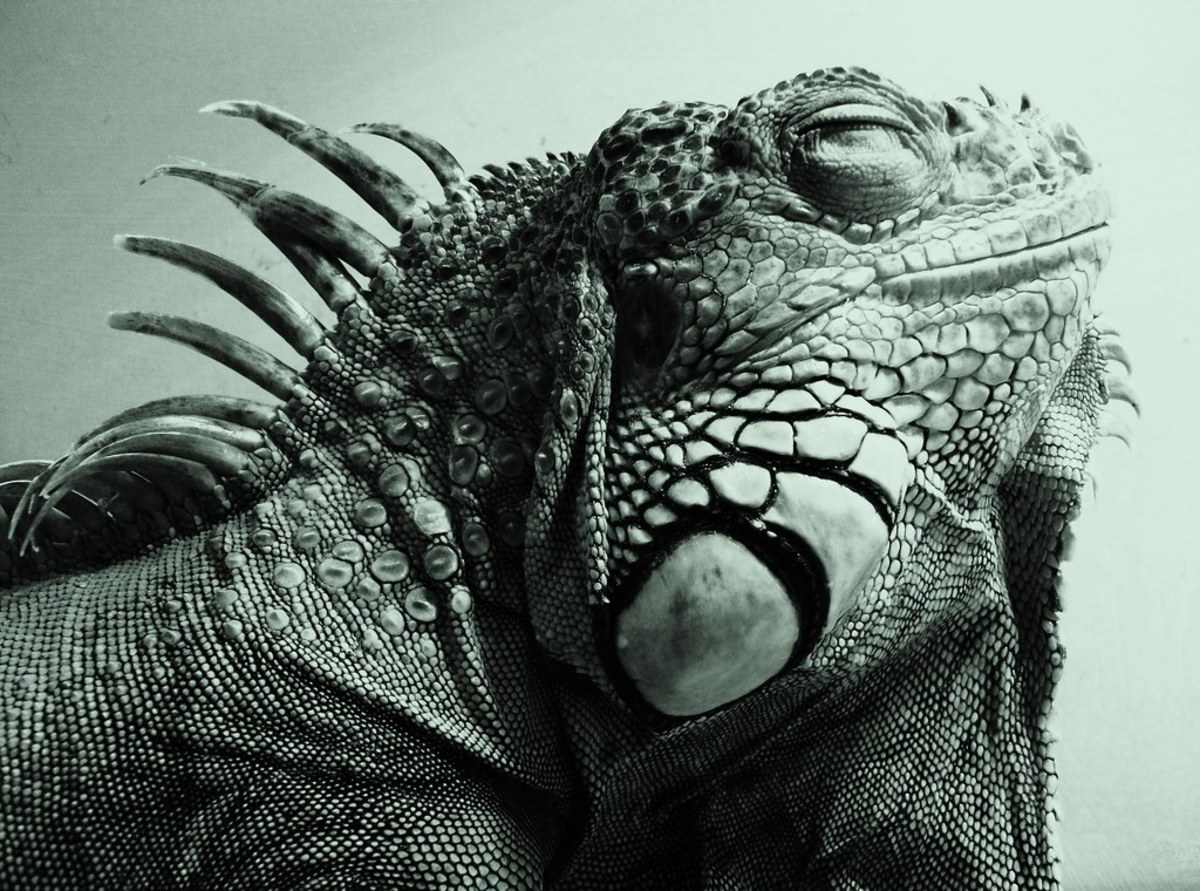 Iguana Can't Poop? 11 Important Solutions