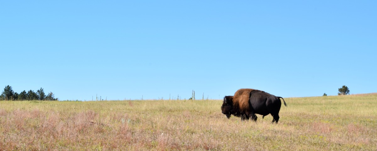 A Bison at Wind Cave National Park