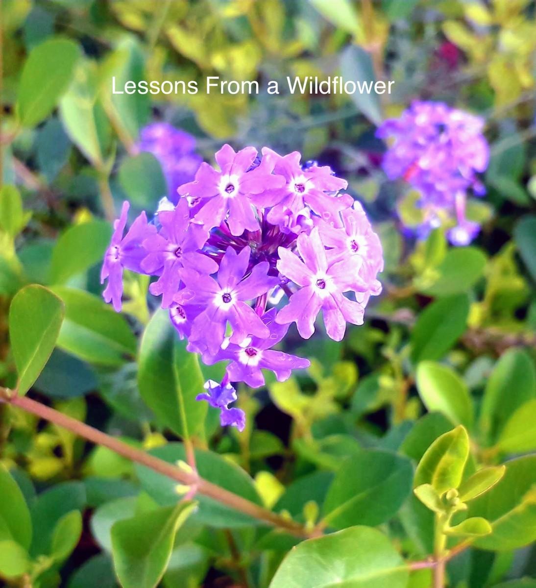 A beautiful wildflower, growing alongside my garden.
