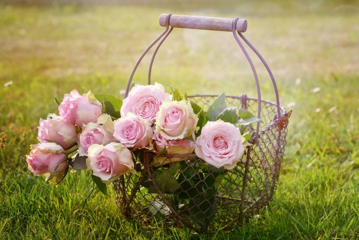 Rose La rose