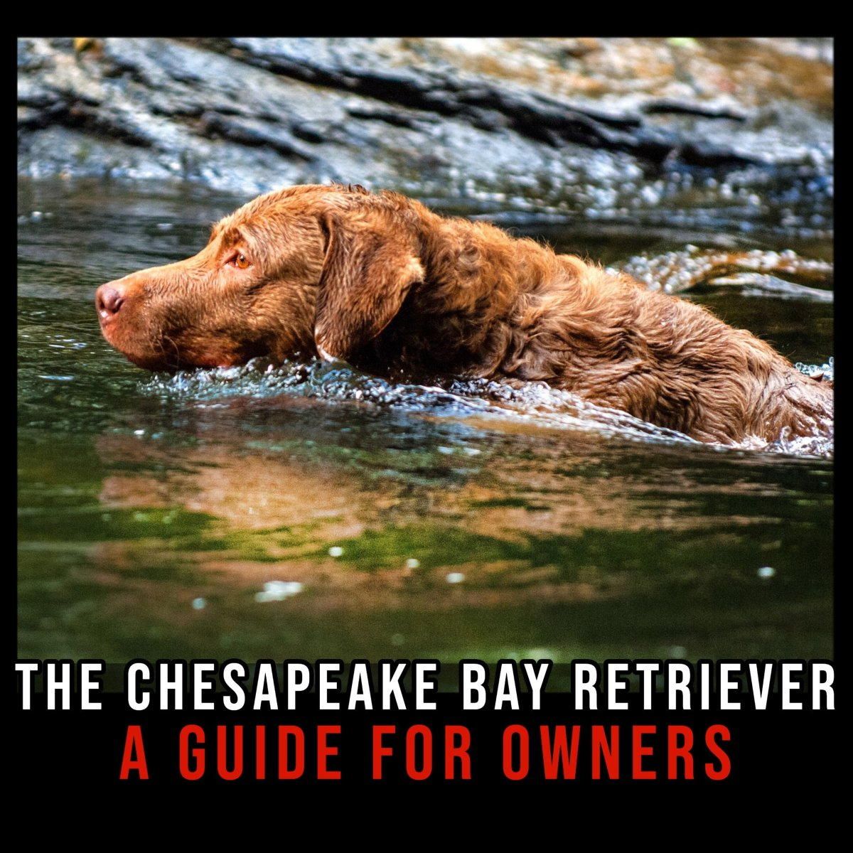 The Chesapeake Bay Retriever: A Guide for Owners