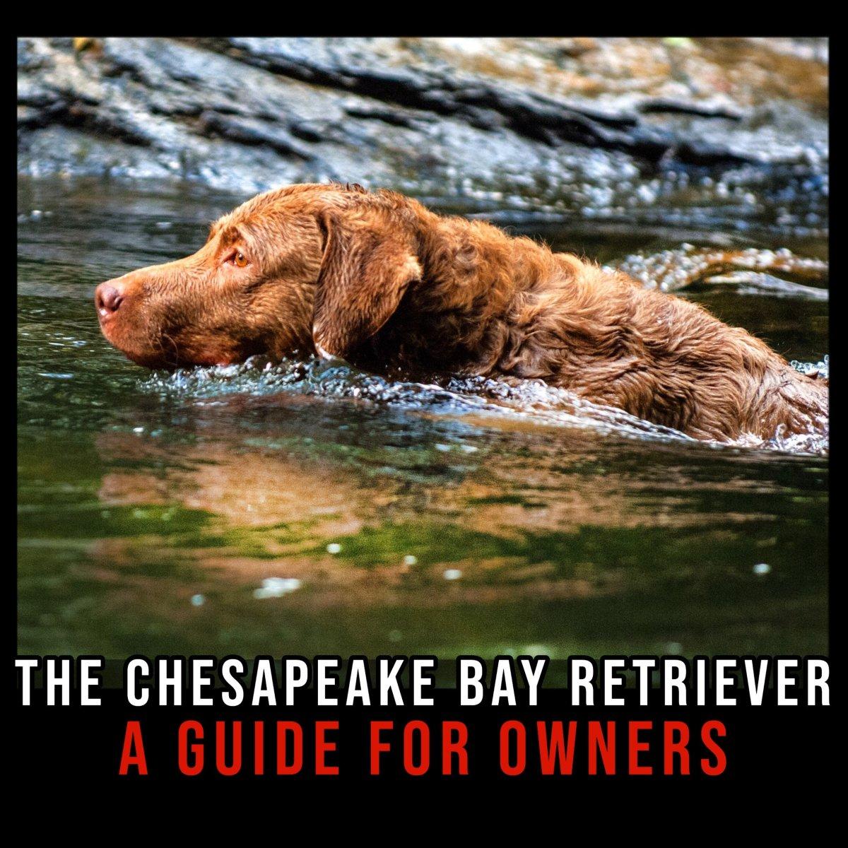 The lovable Chesapeake Bay Retriever.