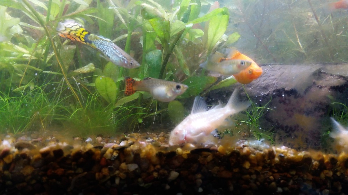 Notice the pregnant female guppy has a blackened eye ring compared to the male pursuing her. Ignore the algae on the glass, I was at the time still working on finding the right combination of CO2, ferts and light for this newly planted tank.