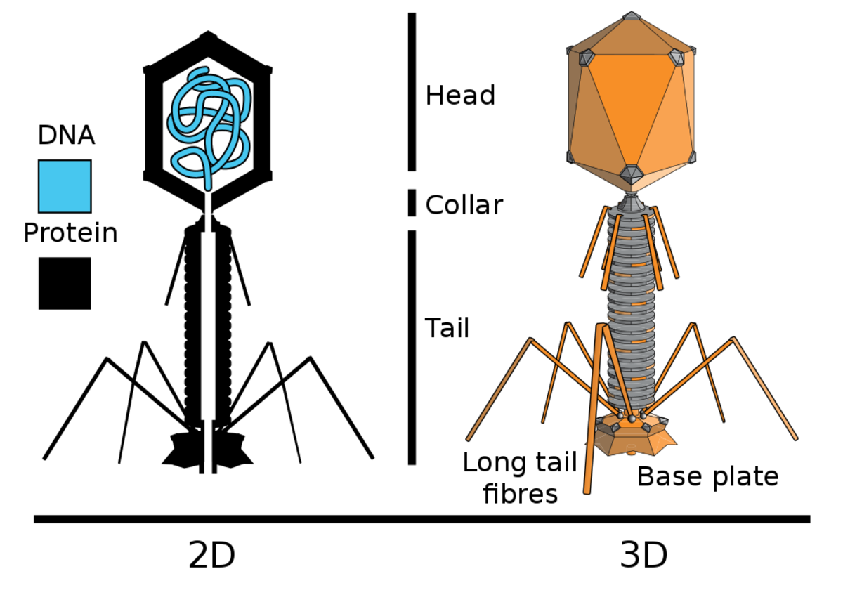 An internal and external depiction of a T-even phage (T2, T4, and T6)