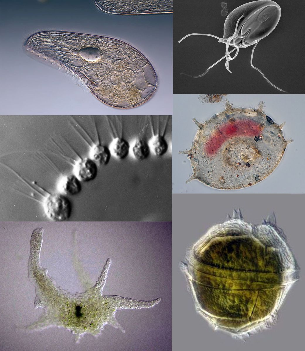 4 Main Groups of Protozoa