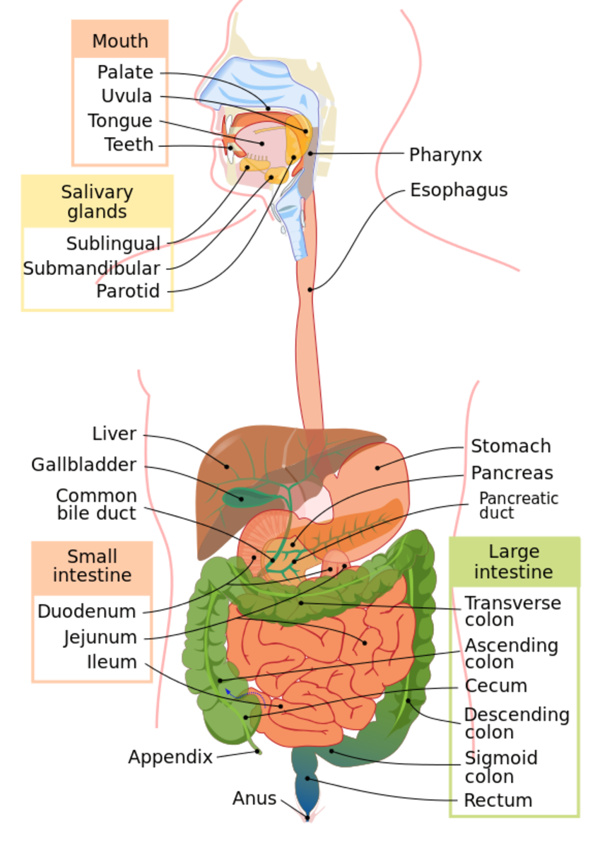 The gastrointestinal tract, also called the digestive tract, alimentary canal, or gut, is the system of organs within multicellular animals that takes in food, digests it to extract energy and nutrients, and expels the remaining waste.