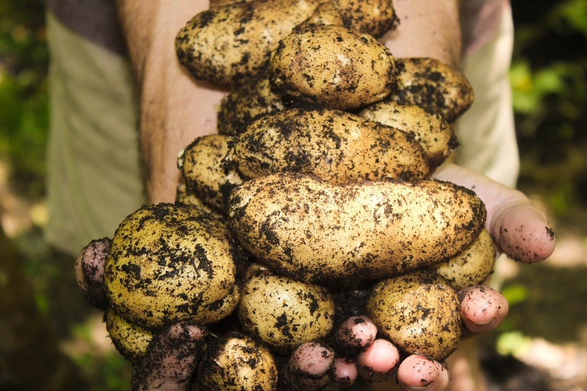 Potatoes and World History