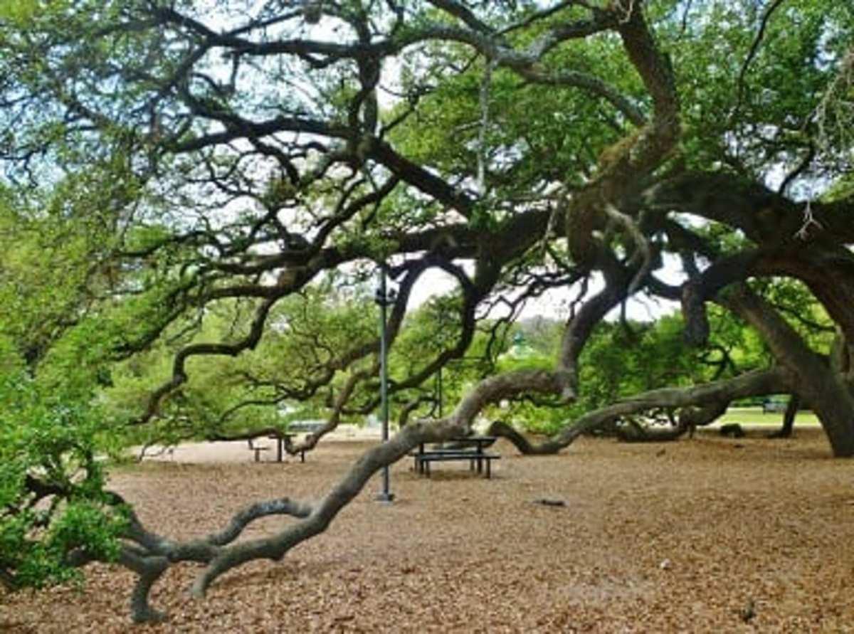Stunning Trees in Elizabeth Baldwin Park
