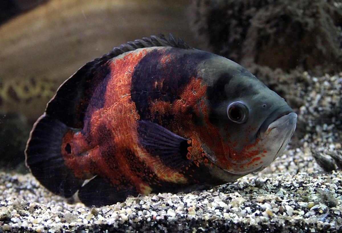 Big fish like Oscars are fun to keep but require the correct size aquarium.