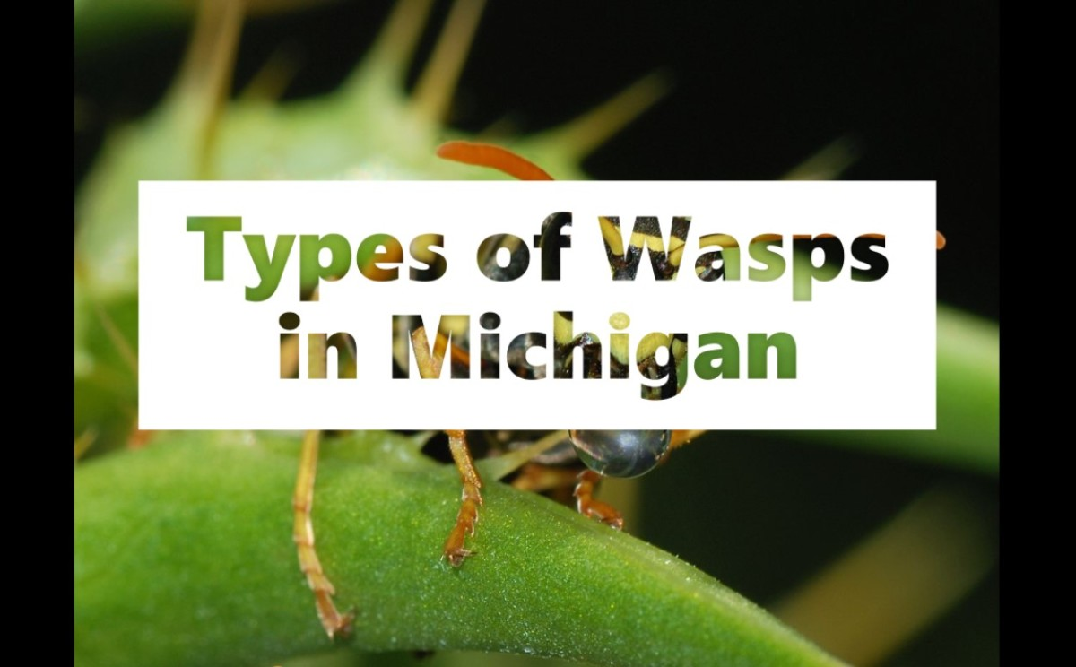 Types of Wasps in Michigan