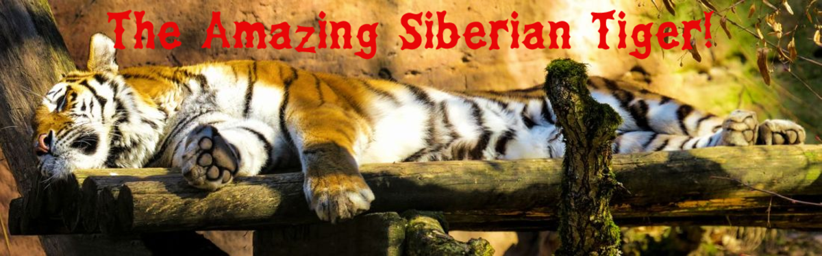 The Big Cats Series – The Siberian Tiger