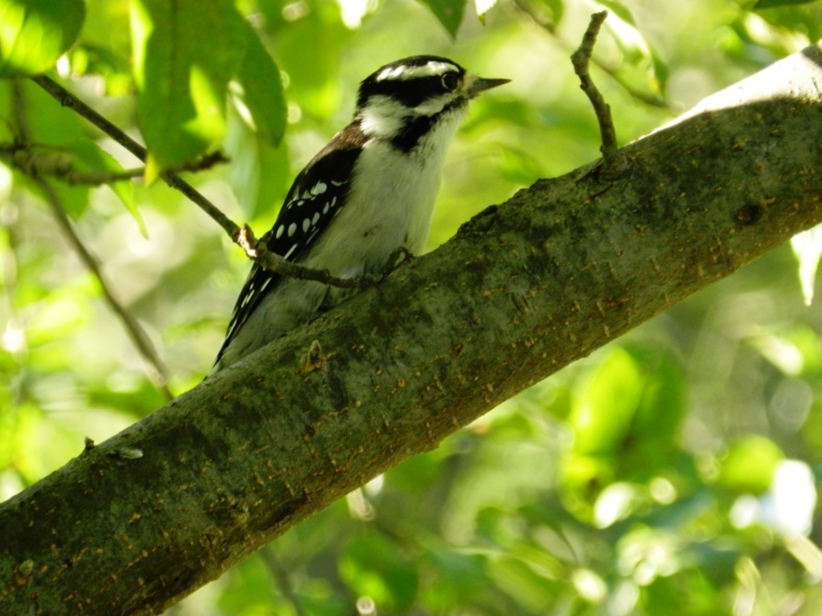 The Downy Woodpecker is the smallest woodpecker in North America.