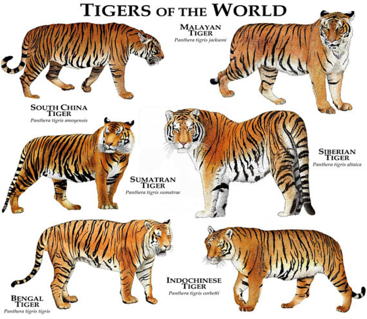 Tigers of the World: Facts and Different Species