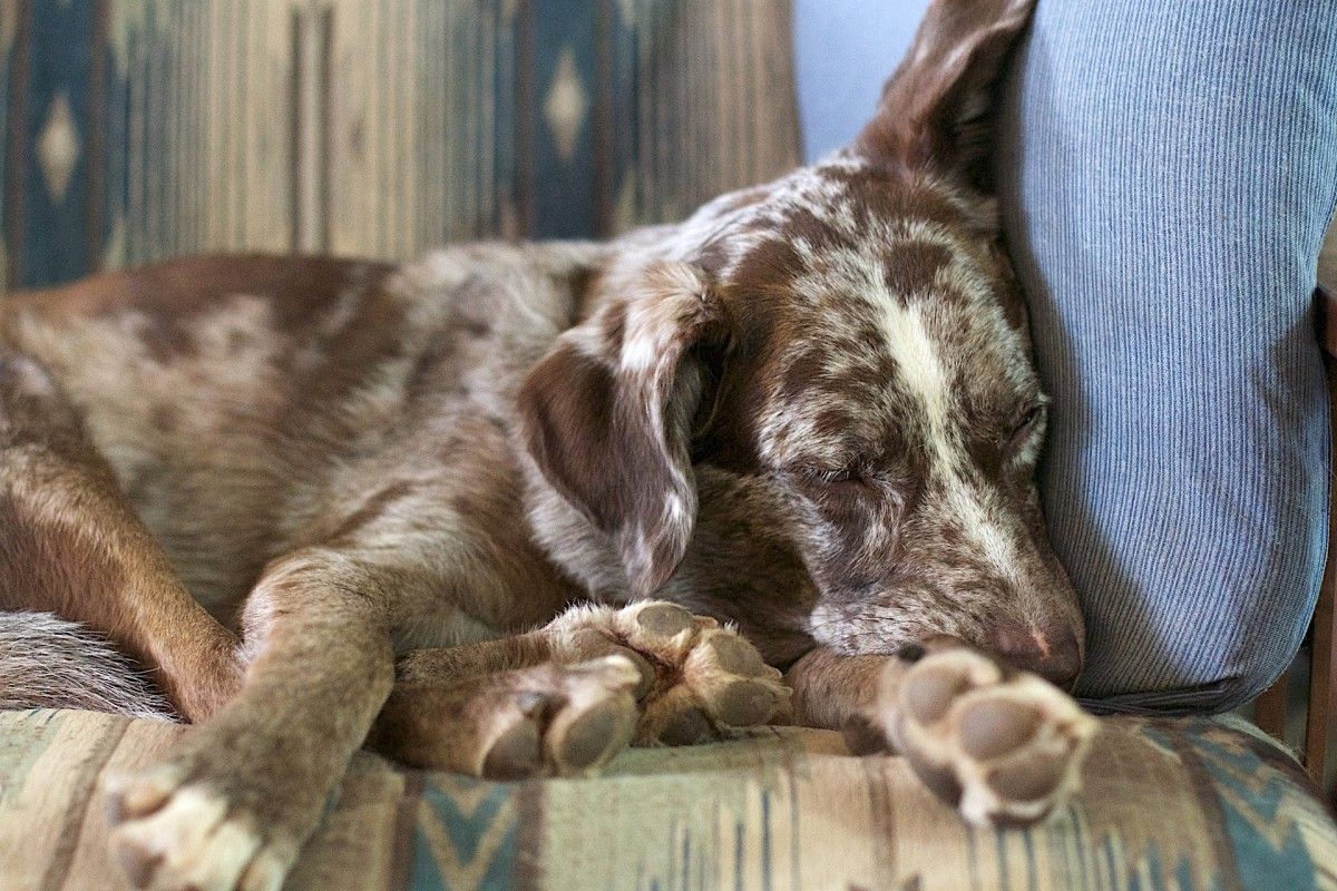 Could Your Air Freshener Be Making Your Dog Sick?