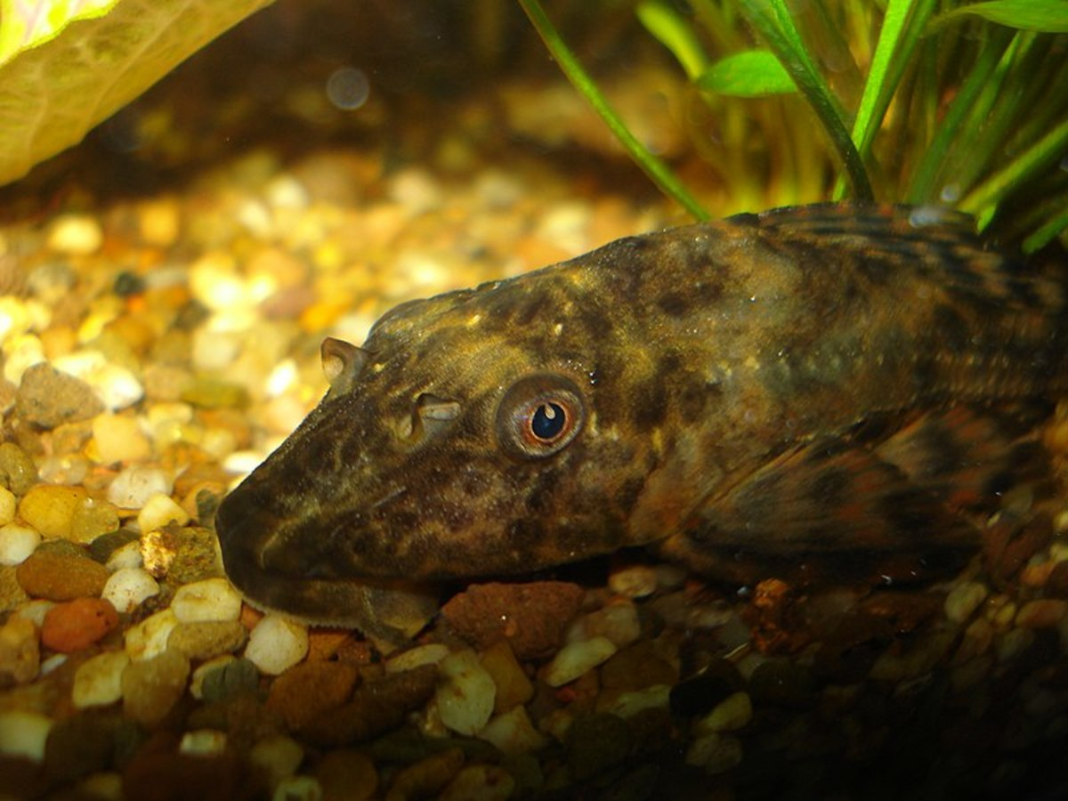 Common Plecostomus Fish Care, Size, Tank Mates, and Lifespan