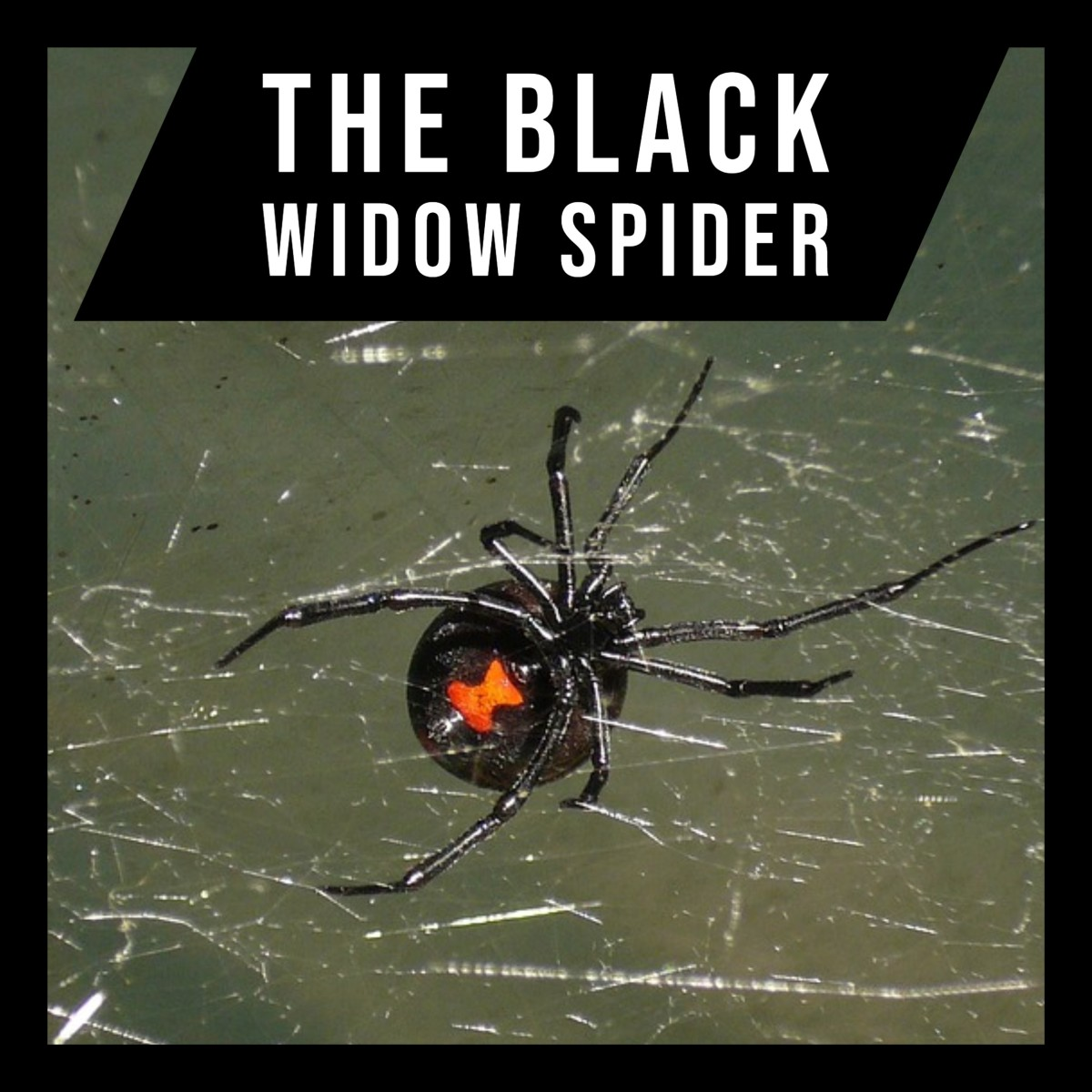 The deadly Black Widow Spider.