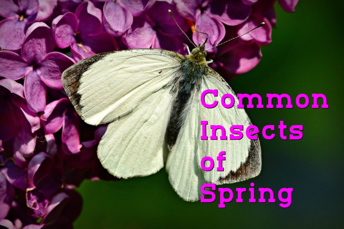 A Guide to Common Insects of Spring