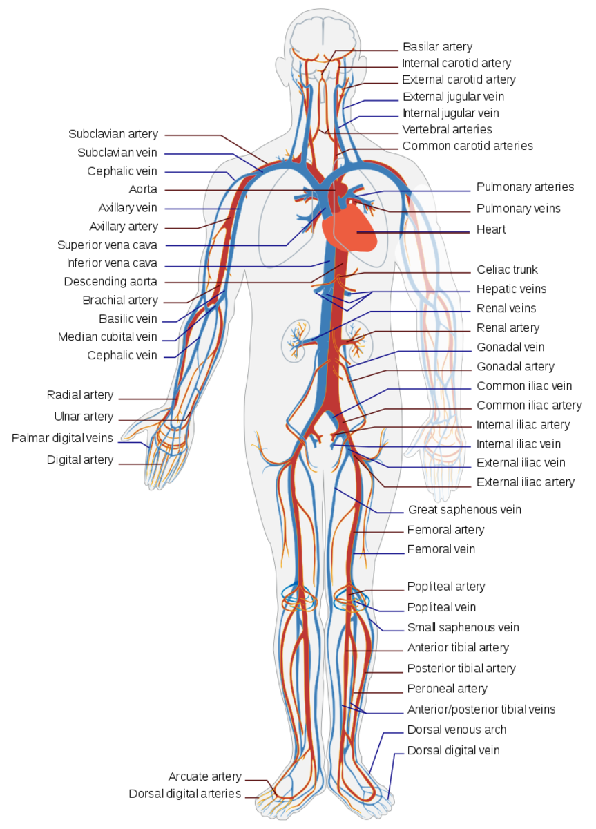 The Circulatory System: Its 4 Main Parts and How They Work