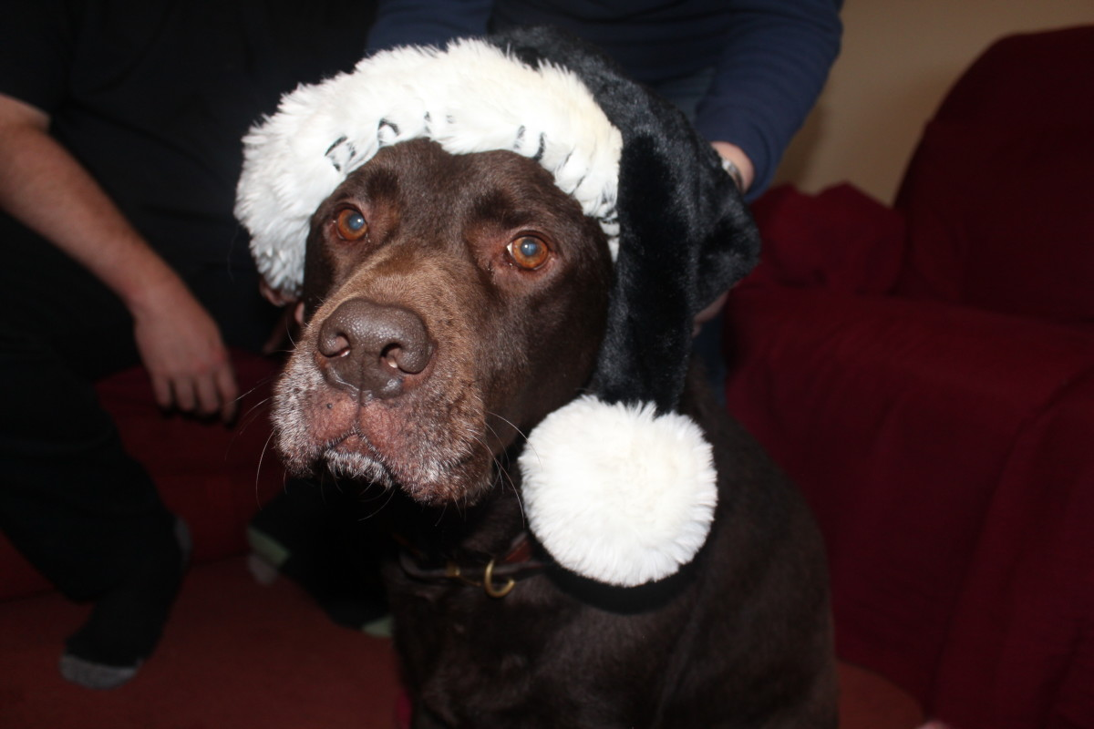 Dogs can find the holiday season stressful, whether it is Halloween, Christmas, Easter or Thanksgiving