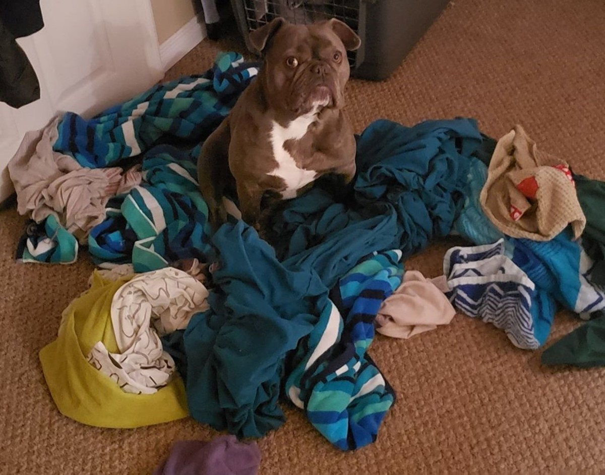 This is what happens when your dog is bored. He takes it out on the laundry.