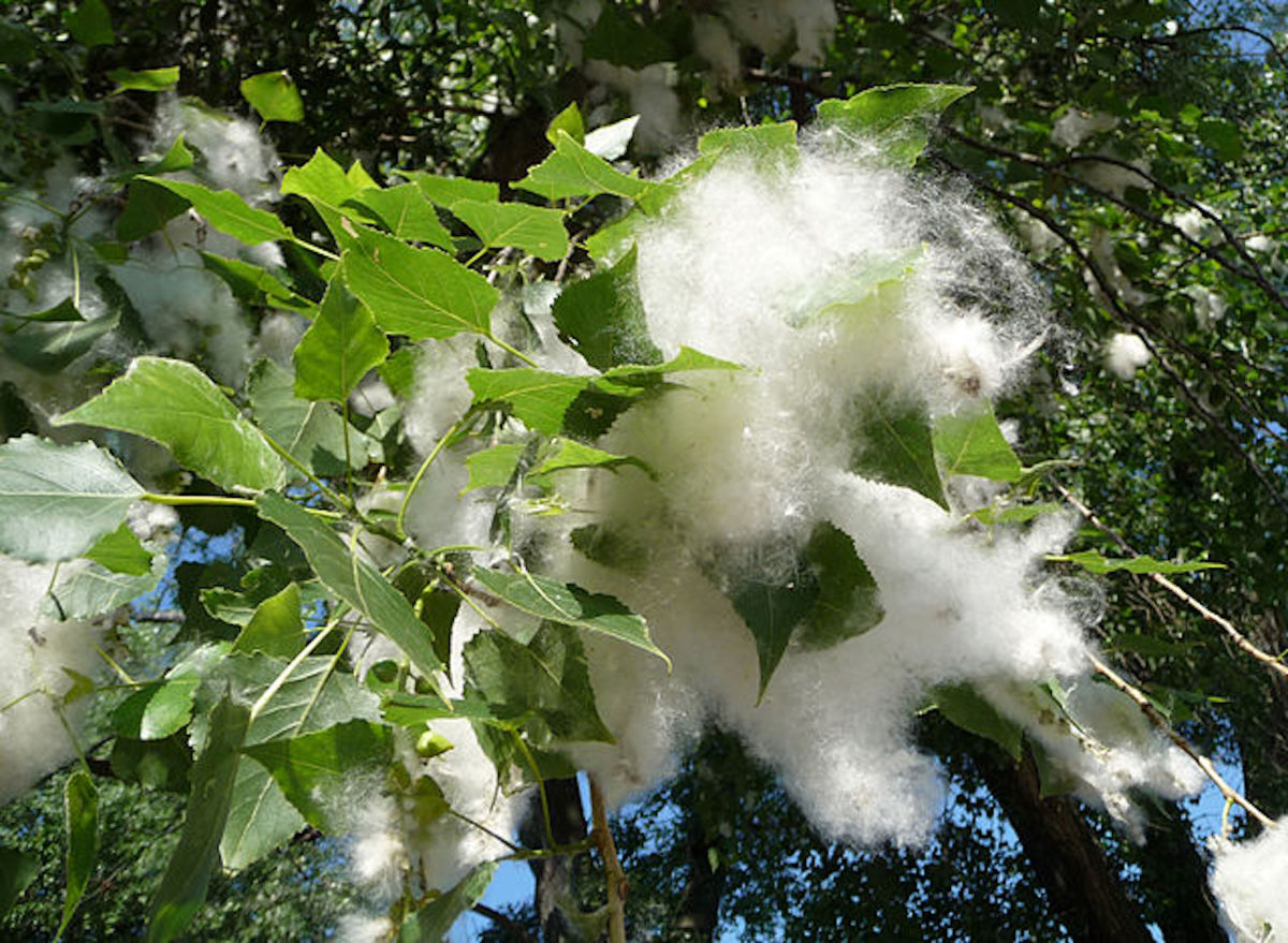 original-poem-as-cottonwood-feathers-swish-with-commentary
