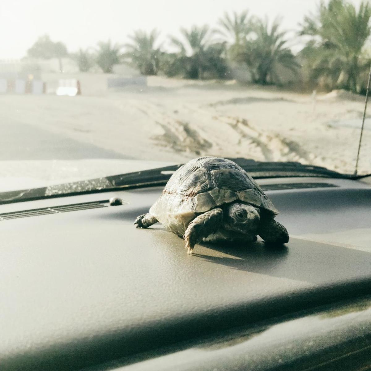 My tortoise Lenny, sitting on the dashboard of a car